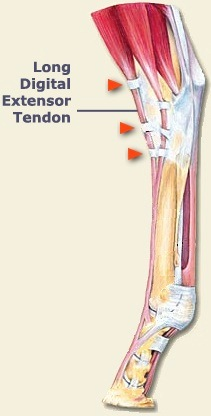 LDE Tendon Diagram