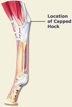 Capped Hock Diagram