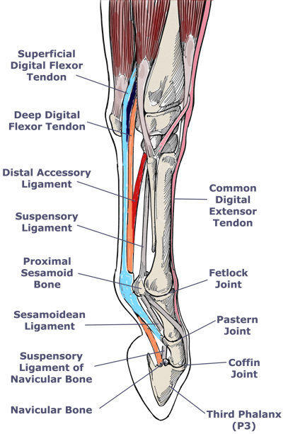 Ligaments in the legs anatomy