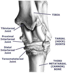 tarsal_joints aec client education hock fusion