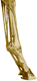 Tendon & Ligament Injuries