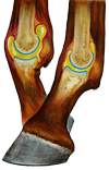 Equine Fetlock Joints