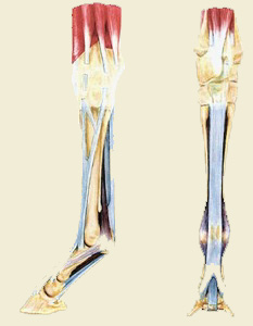 Aec Client Education Tendon Ligament Injuries
